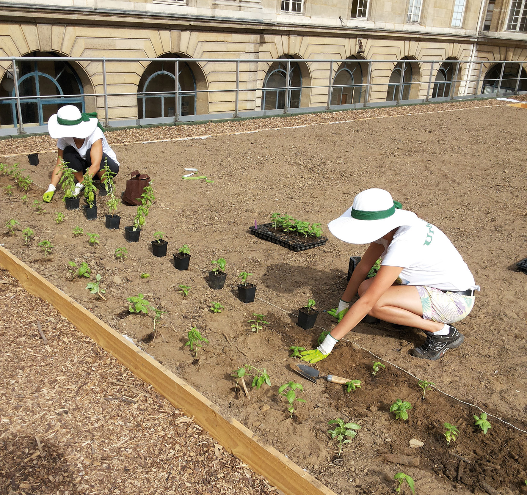 Deux jeunes femmes en tenue de jardiner plante du basilic sur un toit terrasse transformé en jardin.